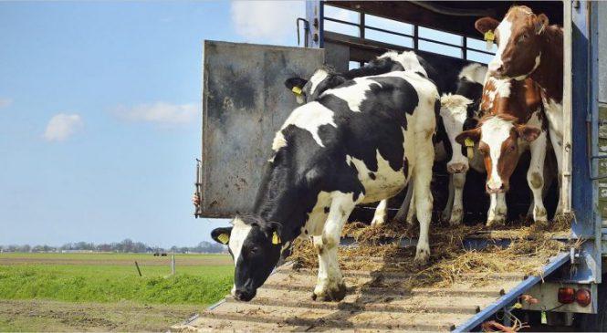 Caminhoneiros defendem aumento da altura máxima permitida de carrocerias para transporte de gado